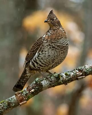 Ontario Birds - Ruffled Grouse... Love shooting these birds with my 28 gauge..