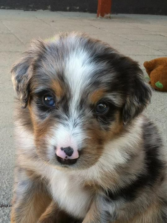 Australian Shepherd puppy....Just look at those eyes! So adorable!