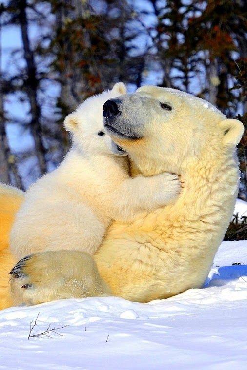 Polar Bear Mom With Her Cub.