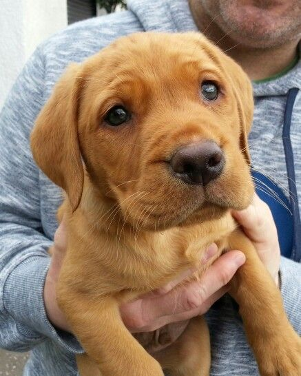 ... and another of our fox red lab Ollie at 8 weeks on the day we picked him up .. ♡