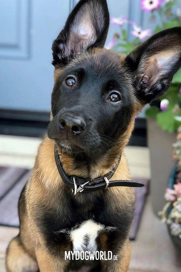 Pin by James Day on Belgian Malinois Malinois puppies