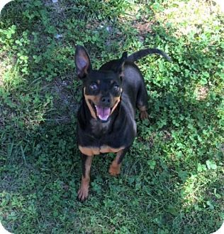 Hagerstown, MD - Miniature Pinscher Mix. Meet Minnie and Penny, a dog for adoption. http://www.adoptapet.com/pet/18204520-hagerstown-maryland-miniature-pinscher-mix