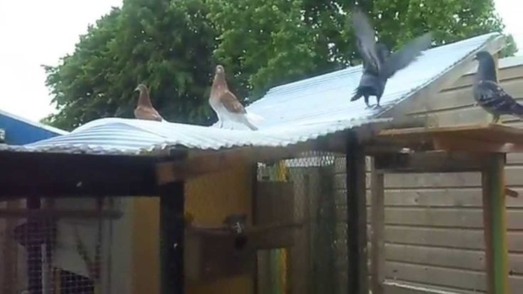 De duiven lopen los. Patty vliegt weg. 2 mei 2014.