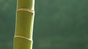 Bamboo poles must be cured or dried before you can use them for sturdy projects.
