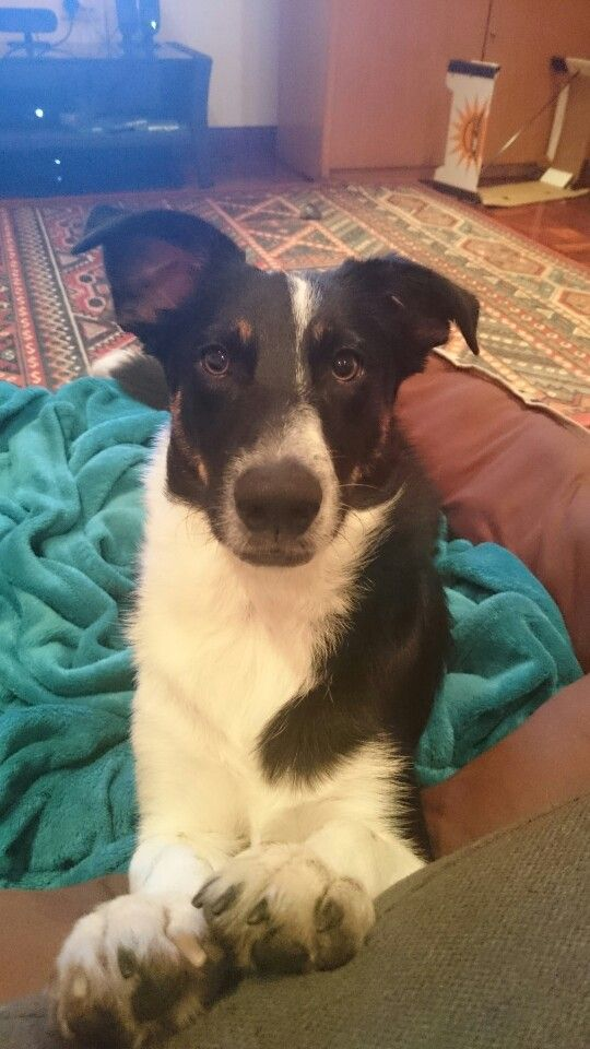 My Sammy. A border collie / smooth fox terrier mix. The most beautiful little potato in the whole world!