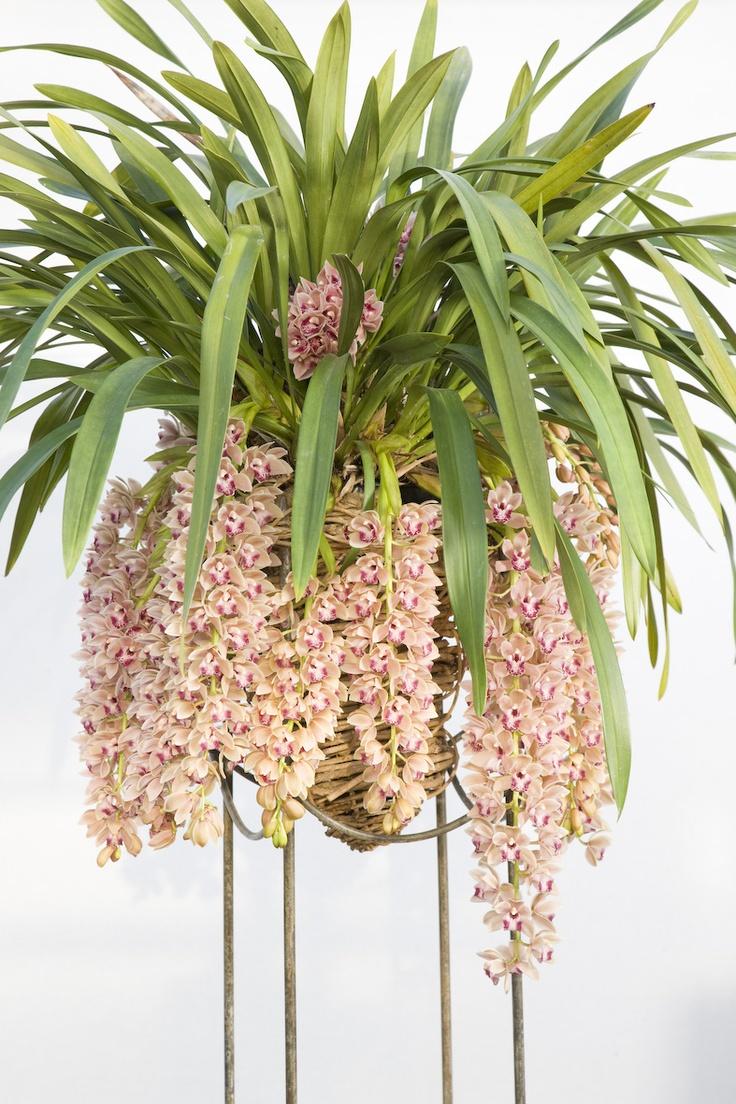 """springwind""cascade   LZ Orchidee"