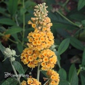 'Honeycomb' Butterfly Bush