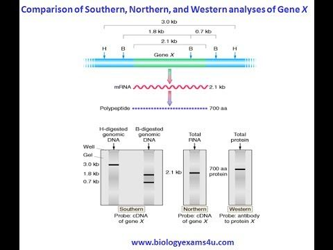 How Southern blotting is different from Northern, Western and Dot blot Techniques? Explained in 3 minutes