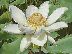 Witte Lotusbloem | schilderij van bloemdetail in olieverf van Joke Frima | Exclusieve kunst online te koop in de webshop van Galerie Wildevuur