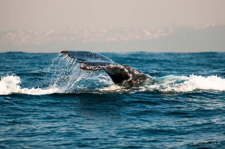 A southern right whale visiting the Durban coast in South Africa.