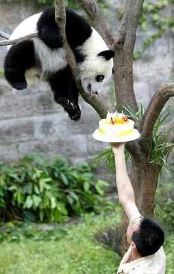 Panda in Tree with Birthday CakeDarning Funny, Happy Birthday, Birthday Parties, Food, Remarkable Funky, Pandas Bears, Birthday Cake, Birthday Pandas, Cutest Animal