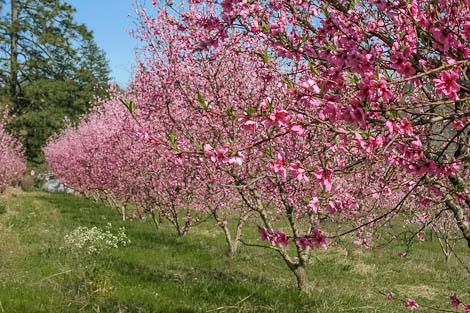 Many bare root fruit trees for sale—how to choose the right one for you