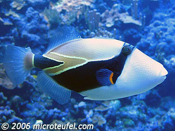 32 best tropical fish images on pinterest tropical fish for Tropic fish hawaii