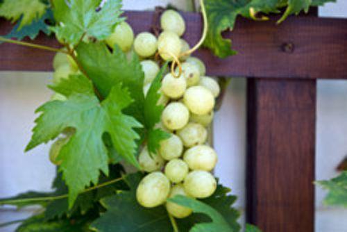Weinreben pflanzen – Schritt für Schritt erklärt