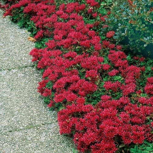 """DRAGONS BLOOD SEDUM (Gaura lindheimeri) Perennial; Ht: 3""""-6"""" Light: Sun. Spread: 12""""  Soil: Well Drained. Fast-growing ground cover with brilliant red foliage. A succulent with needle-like leaves which turn vibrant orange-red in fall. The more sun it gets, the more intense the foliage becomes. Exceptionally tolerant of heat and drought and also tolerate cold and being planted in poor dry soil. Low growing Sedum is used for containers borders, edging and as a dense spreading groundcover."""