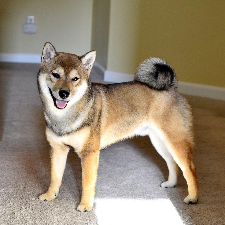 Shiba Inu - Sesame Color  http://www.shibas.org/breeders.html  http://www.akc.org/dog-breeds/shiba-inu/