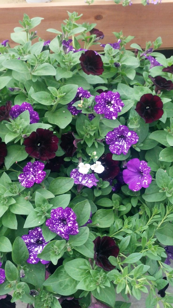 Petunia 'Night Sky' with what looks like Petunia 'Black ...