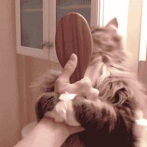 gato cepillado