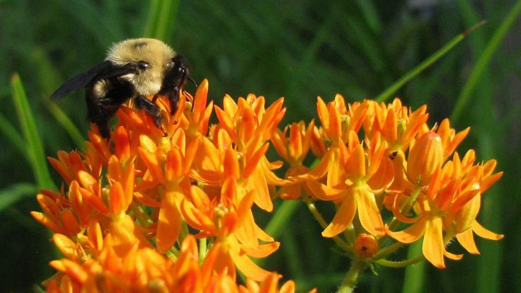 "A new study from North Carolina State University finds that common wild bee species decline as urban temperatures increase. ""We looked at 15 of the most common bee species in southeastern cities and – through fieldwork and labwork – found that increasing temperatures in urban heat islands will..."