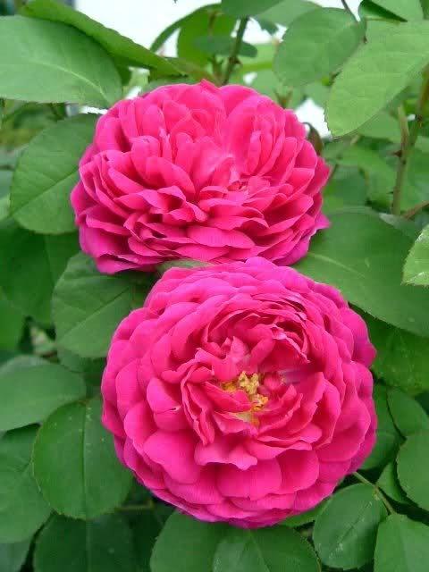 'Rose de Resht' *1950* Persien, Damaszenerrose, Strauchrose, Blüte: Juni - September