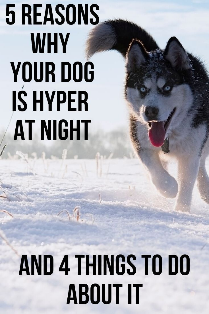 Why Is My Dog So Hyper At Night Best Dog Toys Dogs,South Indian Modular Kitchen Designs Catalogue