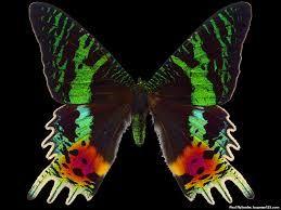 madagascar butterfly - Buscar con Google
