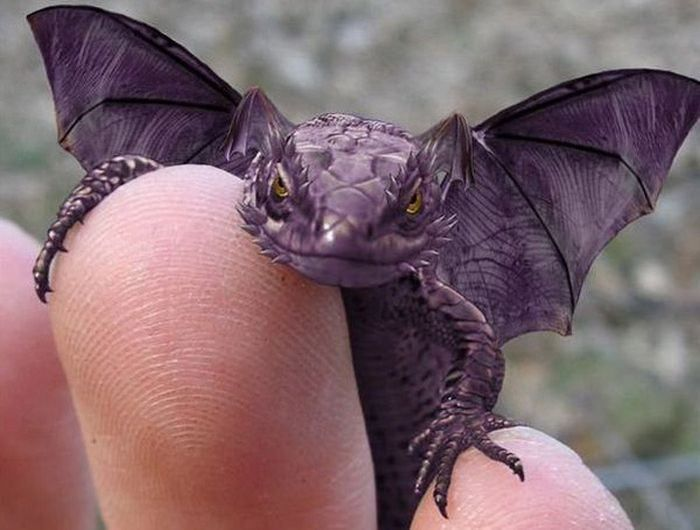 "This is a ""Purple Horned Winged Lizard""....he looks like a mini dragon!"