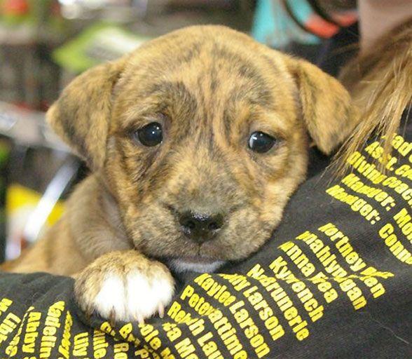 Boxer/ Pitbull Terrier mix