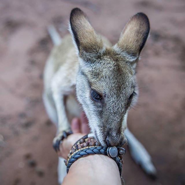 Making new friends ♡  #australia #roadtrip #blogtrotters #busemprzezswiat #kangur #kangaroo #busz #bush #outback #travel #adventure #friends #animals #wild #travelblog #wallaby