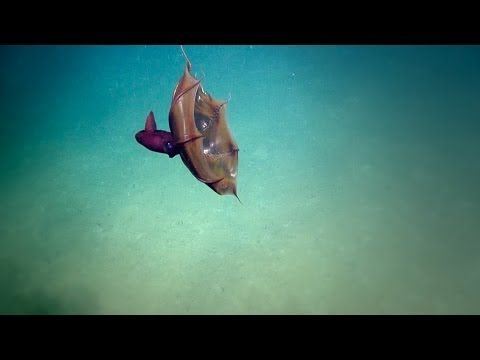 nautiluslive.org Vampire Squid Video