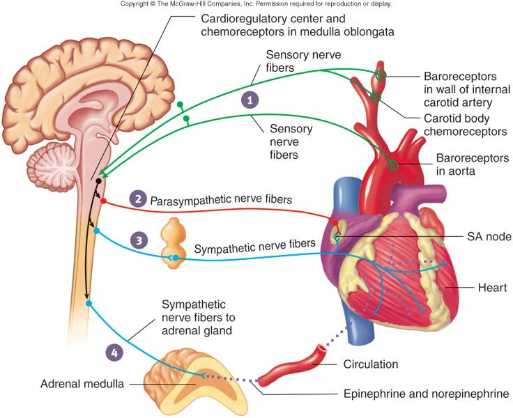 the renin angiotensin aldosterone system health and social care essay Renin-angiotensin-aldosterone system vasopressin  arterial baroreceptors are important components of this feedback system, especially in acute heart failure.