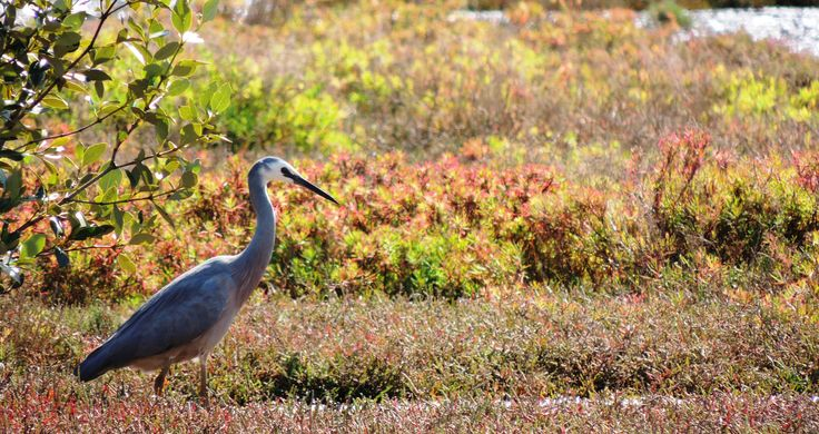 A white-faced Heron forages for invertebrates amongst the saltmarsh vegetation