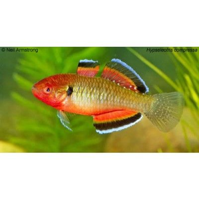 Pinterest the world s catalog of ideas for Freshwater goby fish