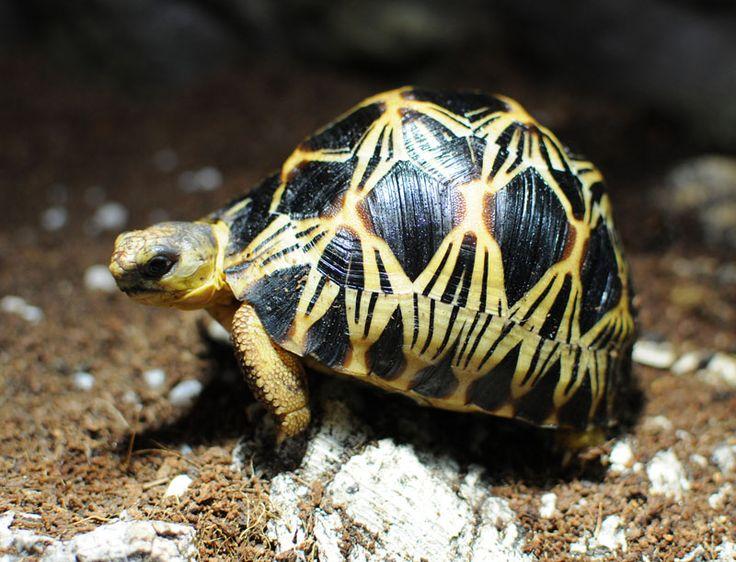 239 best radiated torrtoise images on pinterest turtles. Black Bedroom Furniture Sets. Home Design Ideas