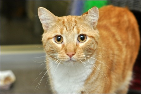 Sky is a 3-year-old orange & white tabby cat that needs a new forever home. Help by liking and repinning.