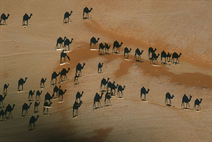 camels cross the desertPhotos, Black Camel, National Geographic, Sunsets, White, Pictures, Photography, Deserts, Shadows
