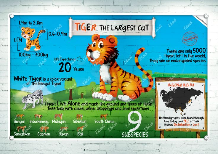 #tiger #national animal of india #tiger the largest cat #types of cats  #ekdali #posters #charts #kids wall #kids rooms