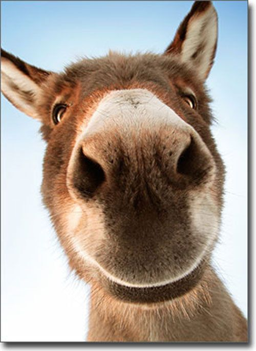 Donkey Face Funny Belated Birthday Card Greeting Card By