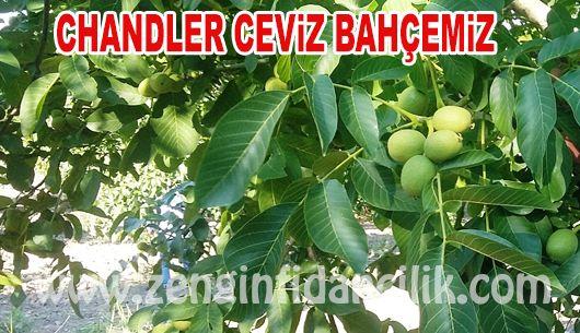 ceviz-fidani-chandler1