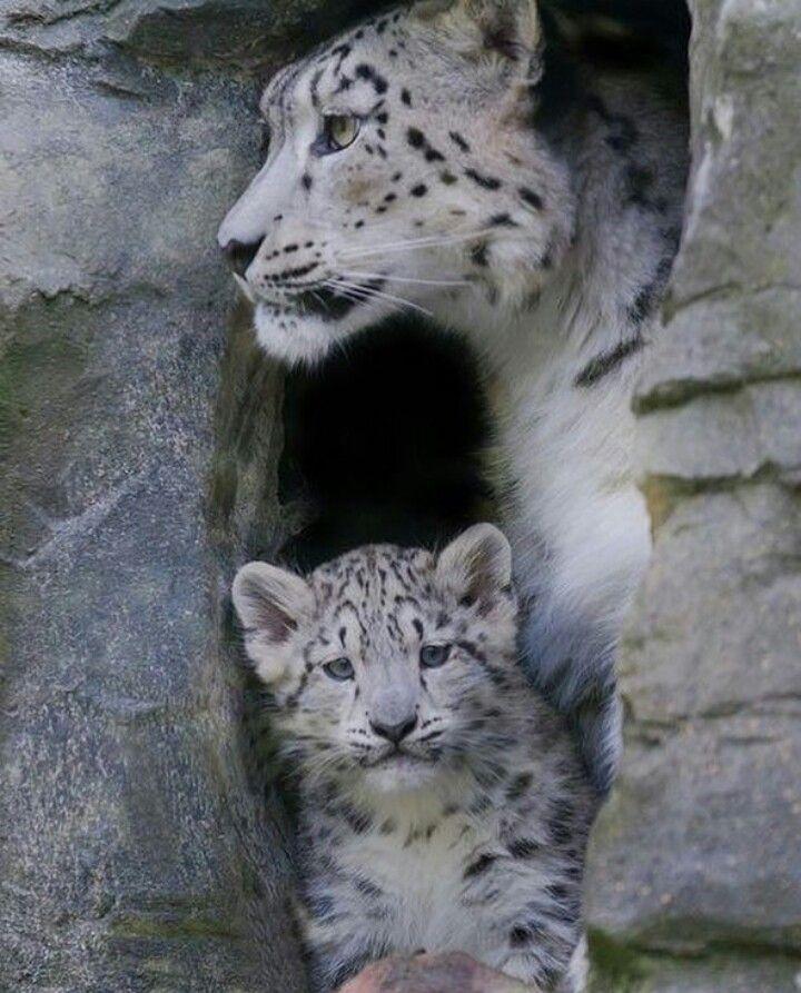 Leopardo nevado