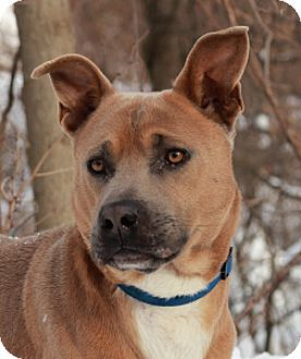Port Washington, NY - Jindo/Pit Bull Terrier Mix. Meet Husky, a dog for adoption. http://www.adoptapet.com/pet/14762036-port-washington-new-york-jindo-mix