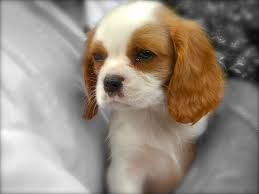 The numbers increased gradually, and in 1945 The Kennel Club first recognised the breed in its own right because the Cavalier King Charles Spaniel.