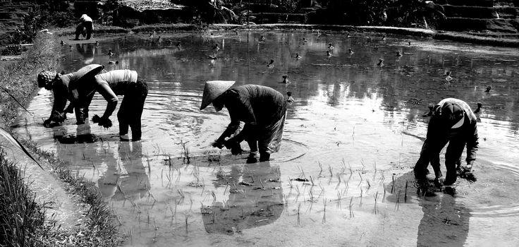 Workers in rice field, Ubud, Bali.