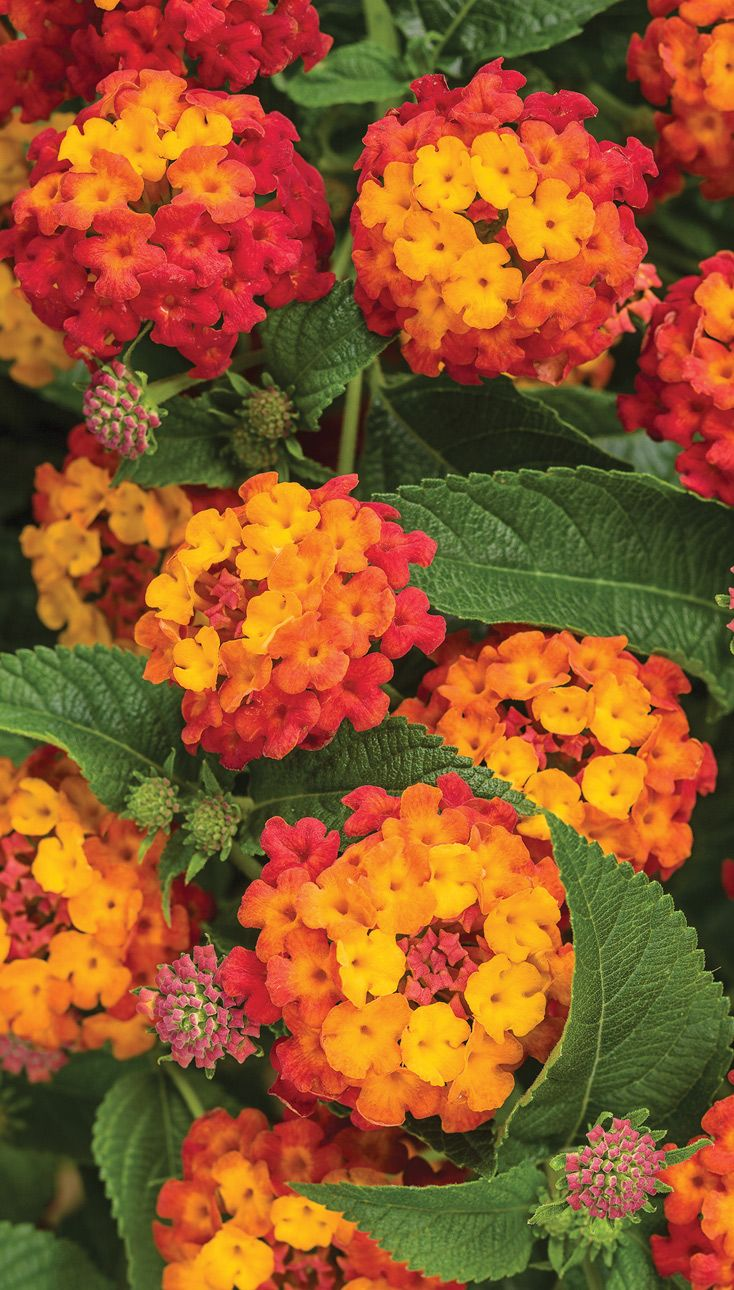 Easy Vibrant Color For Pollinators Lantana Plant Lantana Camara Lantana Flower
