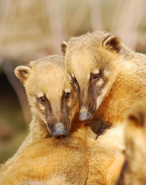 """Coatis"" at the *Everland Zoo, Yongin, Gyeonggi-do, South Korea* [They are also known as Brazilian aardvarks, Mexican tejón, hog-nosed coons, pizotes, Panamanian gatosolos, crackoons and snookum bears, are members of the ""raccoon family"" (Procyonidae). Coatis have strong limbs to climb and dig, and have a reputation for intelligence. Coatis are active day and night.]~[Photo by floridapfe (IN CHERL KIM) - December 17 2010] 'h4d'120913"