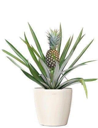 Pineapple Fruit Plants Small Wholesale Fruit Plants Web