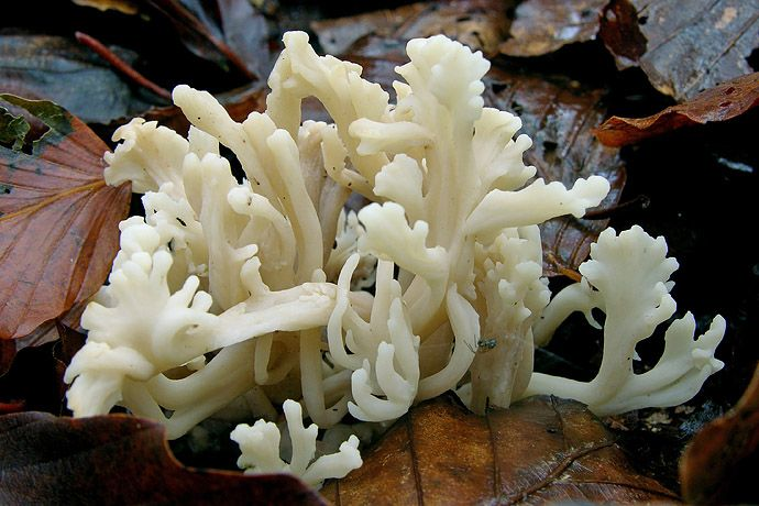Clavulina cristata in the moist autumn forest
