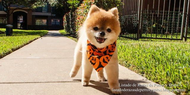 Fotografía de un perro Pomerania paseando por la calle. Razas de perro (Photograph of a Pomeranian dog walking down the street. Dog breeds).