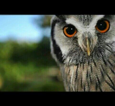 White Faced Owl.