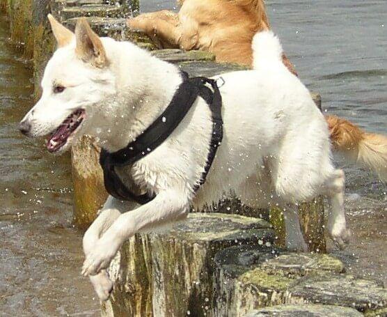 Canaan Dog – Dog Breeds